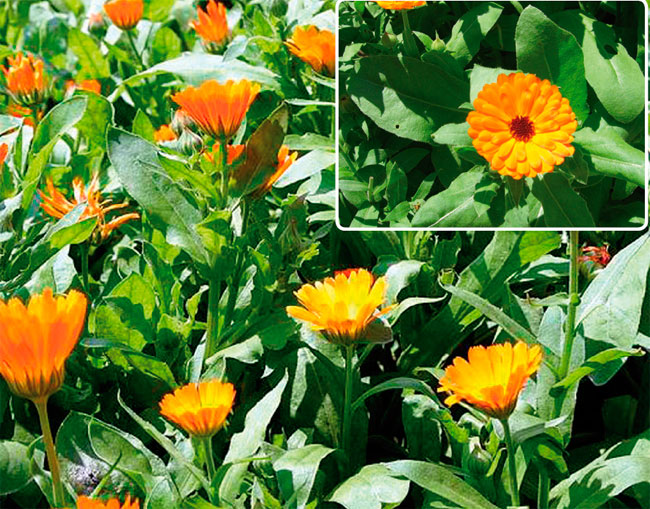 НЕВЕН – CALENDULA OFFICINALIS