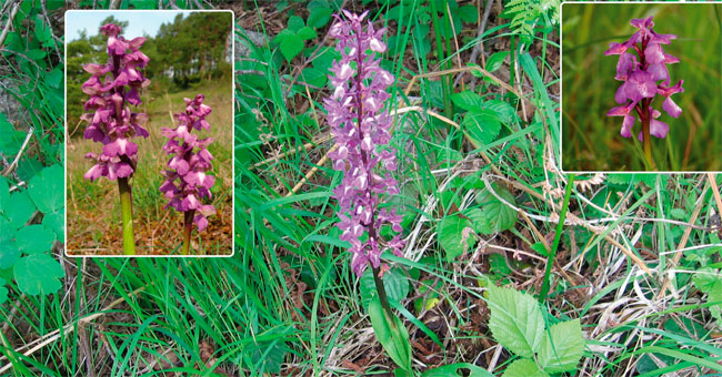 САЛЕП – ORCHIS MORIO